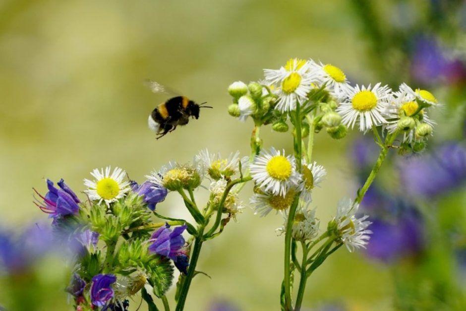 Hummel fliegt zur Blume